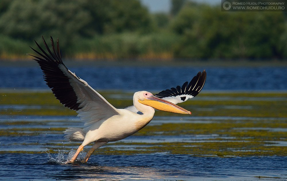 Danube Delta - Pelican