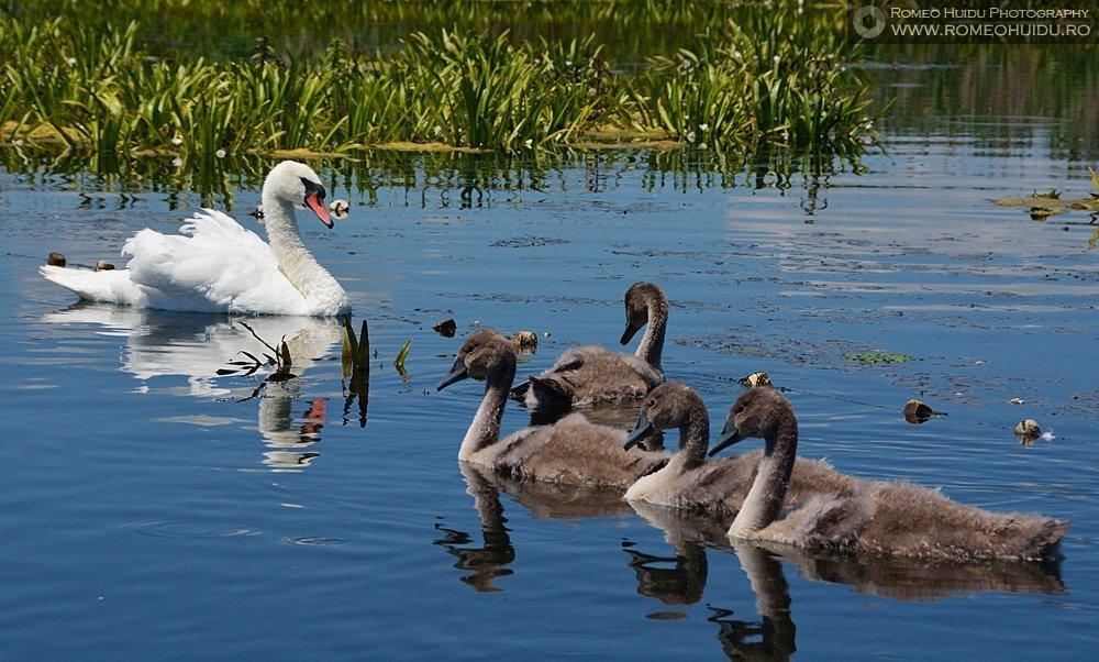 Danube Delta  - Swan