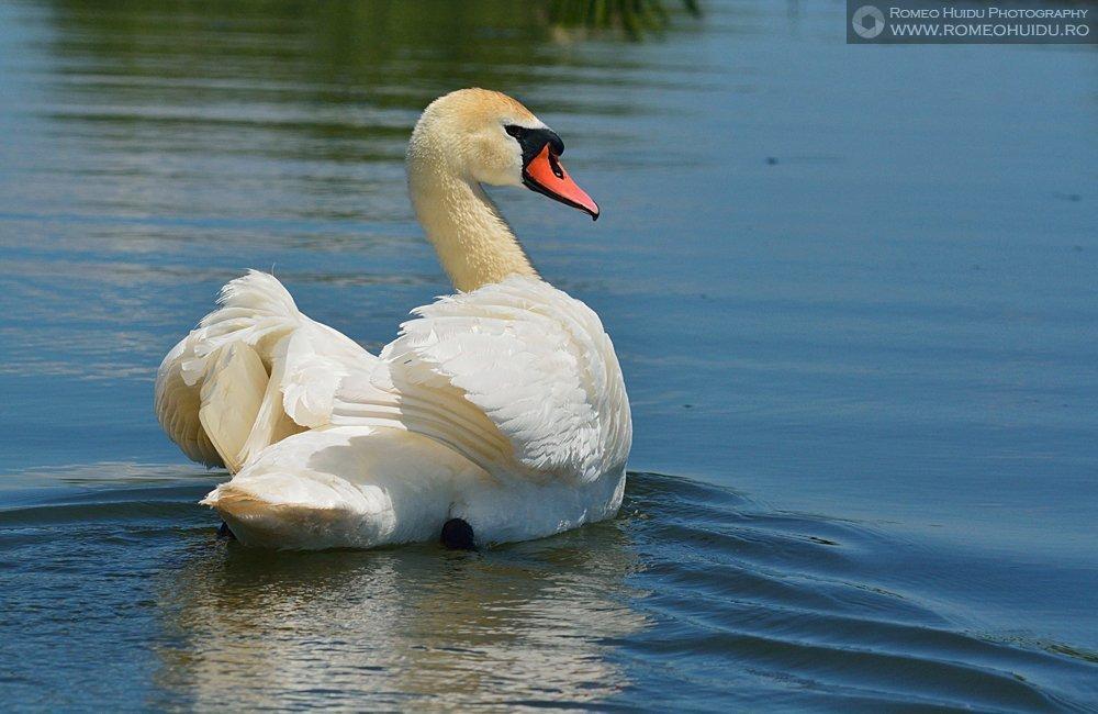 Danube Delta Swan