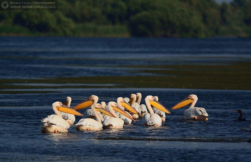 Danube Delta - Pelicans