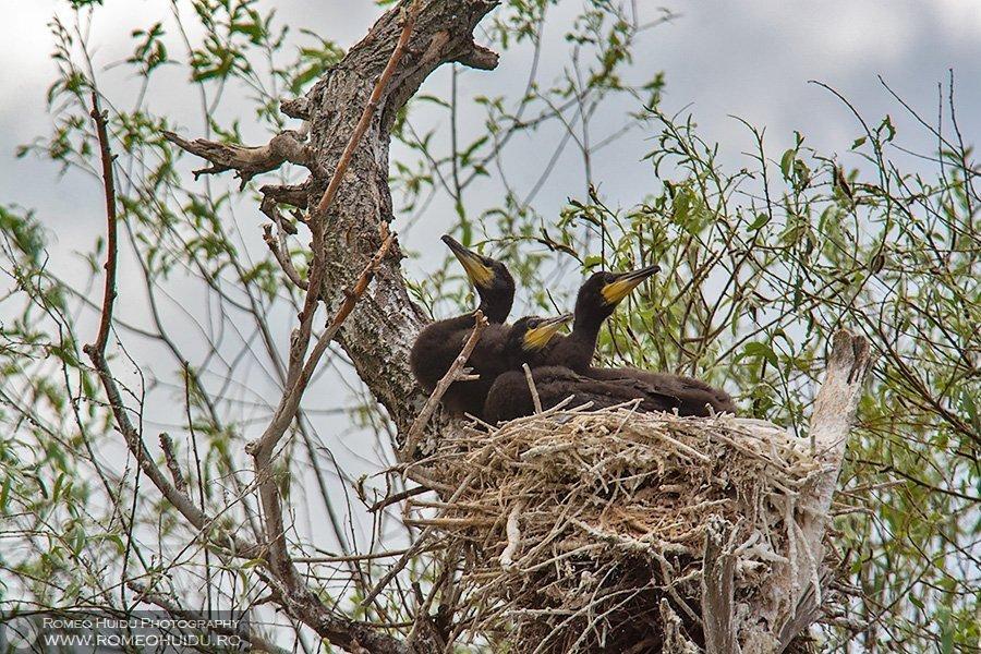 Colonie de cormorani