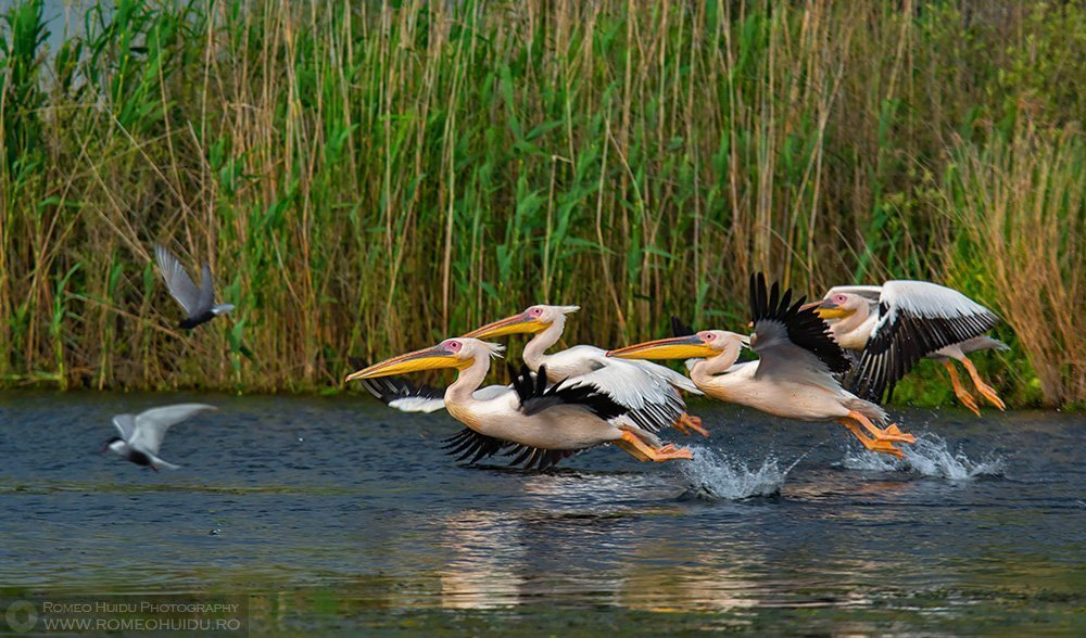 Pelicani comuni