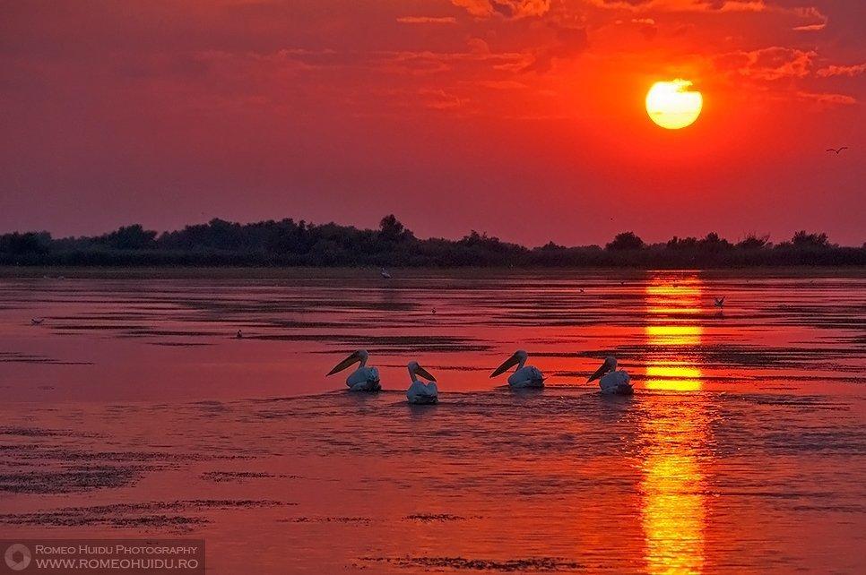 Pelicani la apus