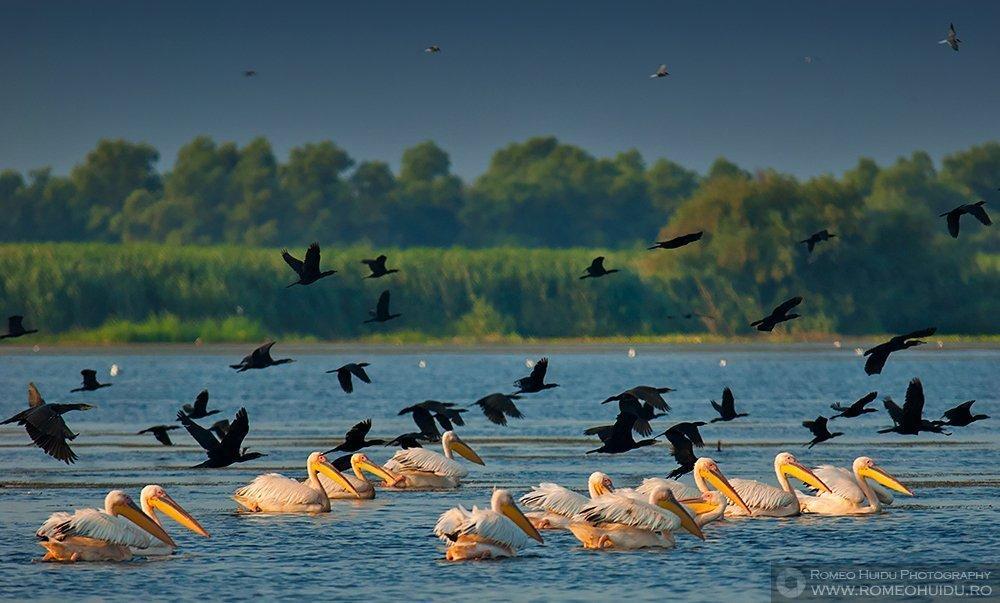 Pelicani si cormorani