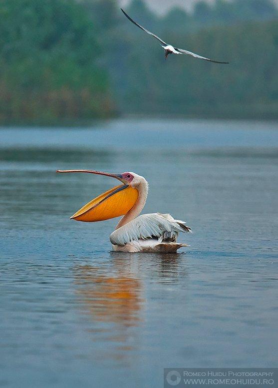 Conflict intre un pelican si o chira