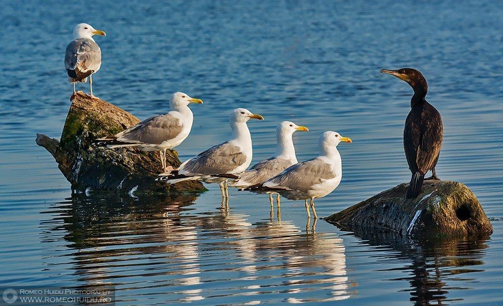 Pescarusi si cormoran