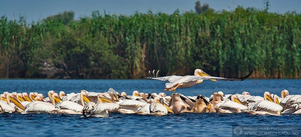Pelican comun