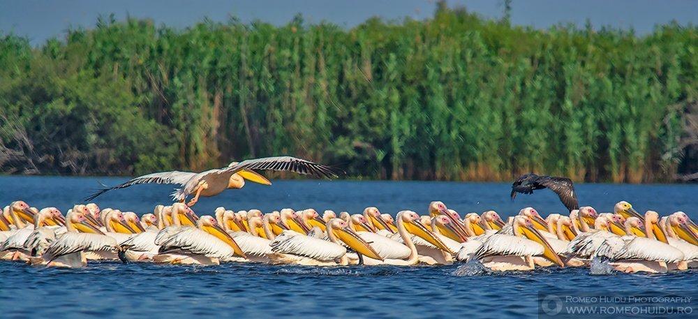 Pelicani comuni la pescuit